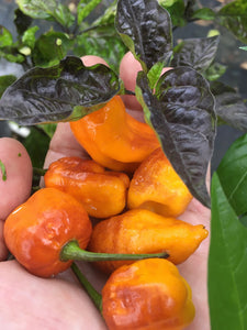 7JPN Light (Pepper Seeds)