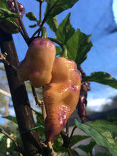 Load image into Gallery viewer, Pimenta Jolokia Peach/Pink (Pepper Seeds)