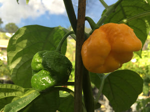 Jonah's Yellow Brains (Pepper Seeds)