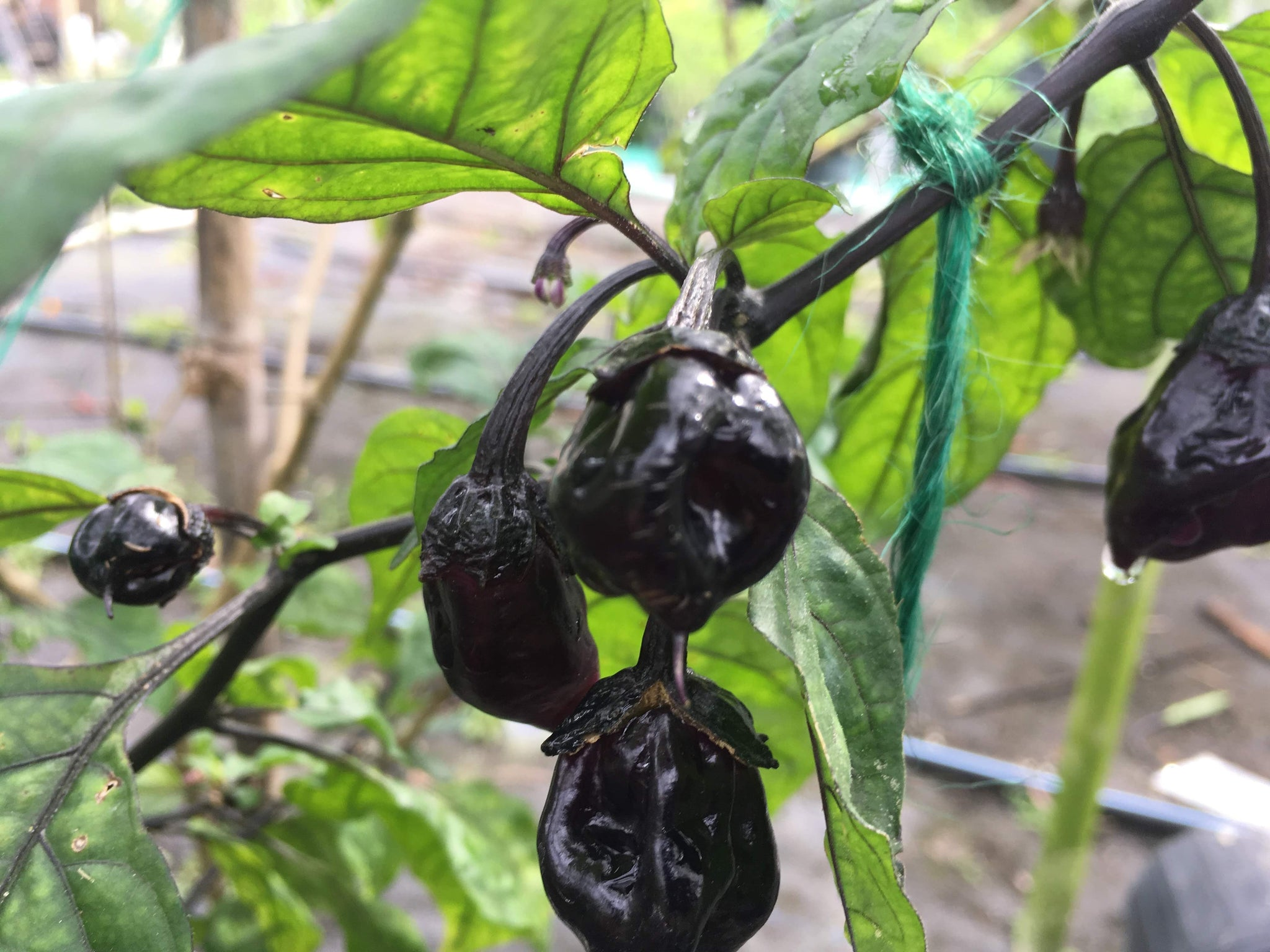 M A M P  BerryGum (Pepper Seeds) – Towns-End Chili & Spice