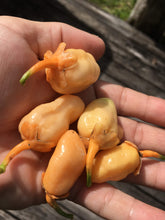 Load image into Gallery viewer, Jes's Morangum Peach (Pepper Seeds)(Limited)