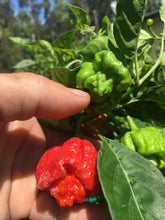 Load image into Gallery viewer, NagaReaper Red (Pepper Seeds)