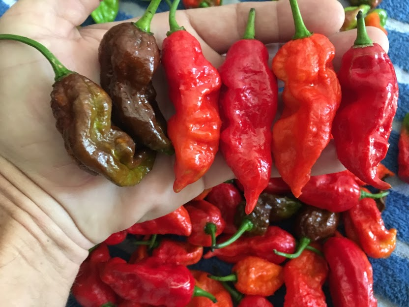 Bhut Jolokia Collection (Pepper Seeds)