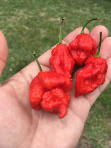 Scorpion Butch T. Red (Pepper Seeds)
