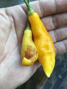 Challuaruro Yellow (Pepper Seeds)