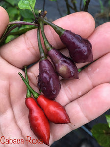 Cabaca Roxa (Pepper Seeds)