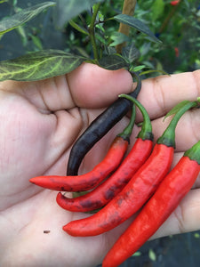 Dark Thai (Italia) (Pepper Seeds)