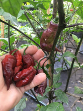 Load image into Gallery viewer, Maroon Tiger (Pepper Seeds)