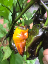 Load image into Gallery viewer, BBG Orange Horizon (Pepper Seeds)