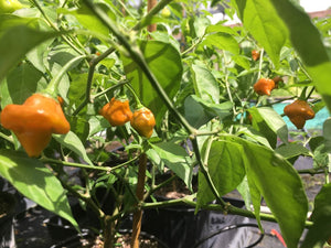 Pointed Mustard Habanero (Pepper Seeds)