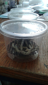 Special - 12 Medium Silkworms with Feed Pod and 2oz of Food