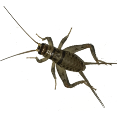 Crickets - Live