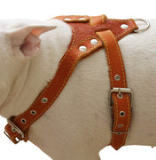 "Genuine Leather Dog Harness, Medium. 25.5""-29"" Chest size, 1"" Wide, Amstaff, Pitbull"