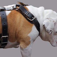 "Genuine Leather Dog Harness. 31""-37"" Chest, 1.5"" Wide Straps, Rottweiler, Cane Corso, Mastiff"