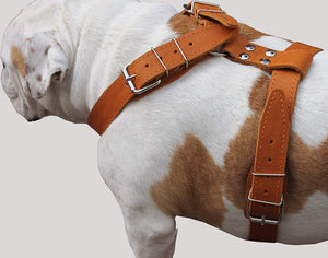 "Tan Genuine Leather Dog Harness, Large. 35""-40"" Chest, 1.5""Wide Straps Mastiff Great Dane"