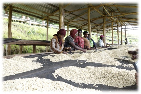 Farm workers grading the coffee parchment and removing any defects