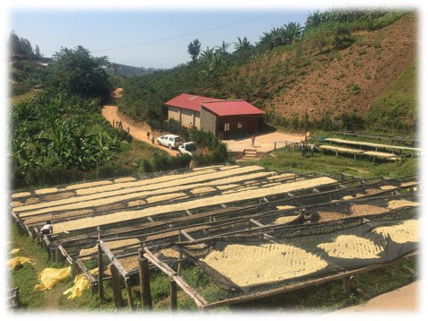 Looking out over the raised coffee drying beds