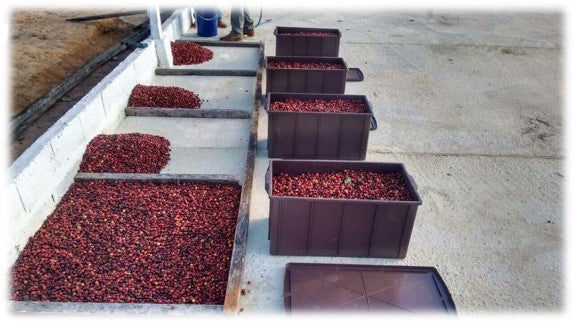 Coffee cherries are checked for quality control