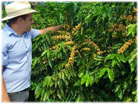 Andre Garcia inspects the Yellow Catuai