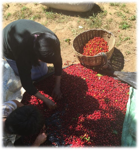 Harvested coffee cherries hand sorted for quality