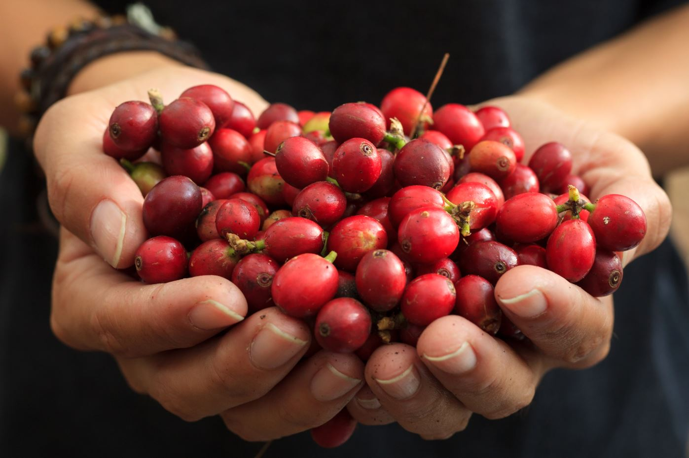 Coffee cherries held in a farmers hand