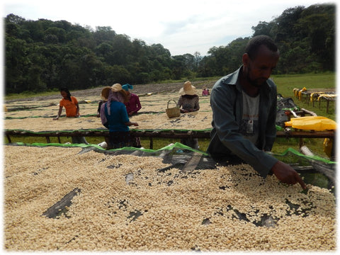 Sorting the coffee cherries at the Duromina washing station