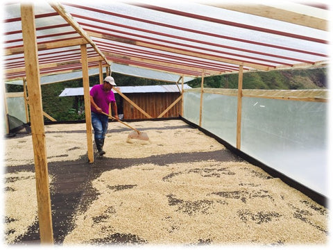 Drying the coffee
