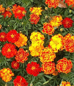 Marigolds, Sparky Mix Variety 1 oz.