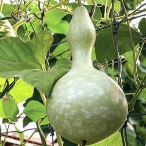 BIRD HOUSE GOURD SEEDS 1/2 POUND