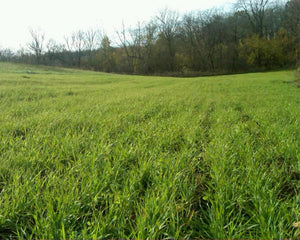 BUCK FORAGE OATS
