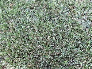 Falcon IV Turf Type Fescue Seed