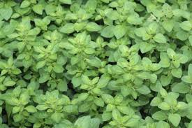HERB GARDEN VARIETY 1 OZ. (8 PACKS)