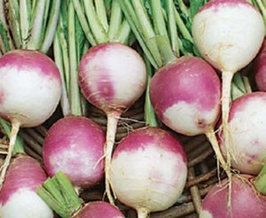 WHITE GLOBE PURPLE TURNIP