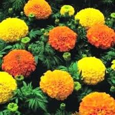 Marigolds, Crackerjack Mix 1 oz