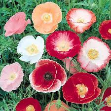 Corn Poppy Single Shirley Variety 1 oz