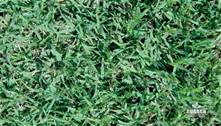 HULLED COATED BERMUDA GRASS