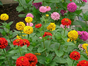 Zinnia Lilliput Seeds 1 oz.