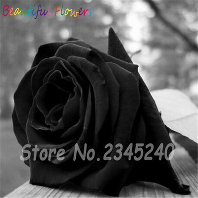 - 120PCS Flower Seed Holland Rose Seed Lover Gift Orange Green Rainbow RARE 23 Color To Choose DIY Home Gardening Flower - 21  jetcube