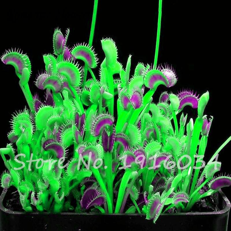 Cheap 100 Pcs Potted Red Insectivorous Plant Bonsai Dionaea Muscipula Rare Venus Fly Trap Bonsai Plant for Home Garden Decortion Bloom Green Co 18