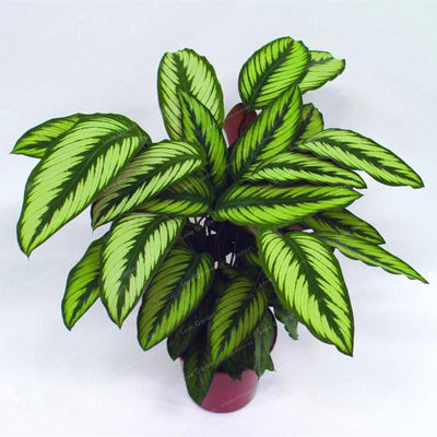 - 100 pcs Calathea Seeds Foliage Plant Bonsai Pot Variety Complete The budding rate 95% Four Seasons Planting Easy To Grow - 7  jetcube