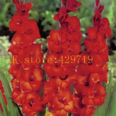 100bag perennial gladiolus flower seeds rare sword lily seeds for 100bag perennial gladiolus flower seeds rare sword lily seeds for diy home garden mightylinksfo
