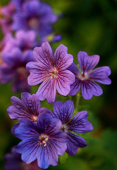 - 100Pcs/bag Geranium Seeds Of Flowers Perennial Indoor Pelargonium Bonsai Plant Garden Flowers Seeds For Balcony Flower Seed 2017 - Deep Blue  jetcube