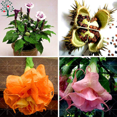 - 100pcs Bonsai Flower Brugmansia Datura Seeds Rare Flower Seeds Potted Plants For Garden Medicinal And Ornamental Value -   jetcube