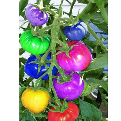 - 200pcs Colourful Cherry Tomato Seeds Balcony Fruits And Vegetables Seeds Potted Bonsai Diy Plant Garden Seed Free Shipping -   jetcube