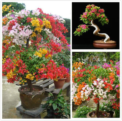 - 100pcs Colorful Bougainvillea Seeds Balcony Flower Pot * Garden Flowers Seeds In Bonsai Floriferous Hardy Plant Tree Sementes . - Multi-Colored  jetcube