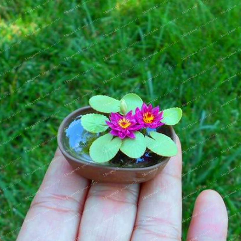 5Pcs Mini Lotus Flower Seeds Rare Chinese Mixed Colors Bonsai Flower Plants Germination Rate Of 95% Bonsai Home Garden Supplies  UpCube- upcube