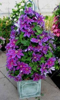 - 100 pcs/bag clematis plant, clematis seeds beautiful climbing plant flower seeds bonsai or pot perennial flowers for home garden - 12  jetcube