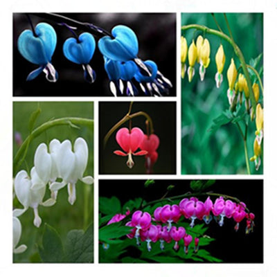 - 100 Dicentra Spectabilis seeds Bleeding Heart classic cottage garden plant, heart-shaped flowers in spring, ferny foliage -   jetcube