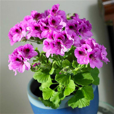 - 100Pcs/bag Geranium Seeds Of Flowers Perennial Indoor Pelargonium Bonsai Plant Garden Flowers Seeds For Balcony Flower Seed 2017 - Yellow  jetcube