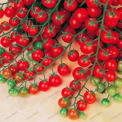 - 100 pcs/bag cherry tomato seeds organic seeds vegetables tomato tree bonsai or pot plant Edible food seeds for home garden - Default Title  jetcube